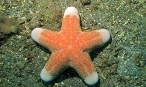 Estrella de mar cojin granulada