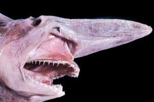 Tiburón Duende