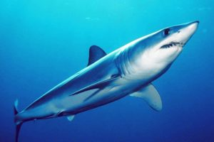tiburón mako